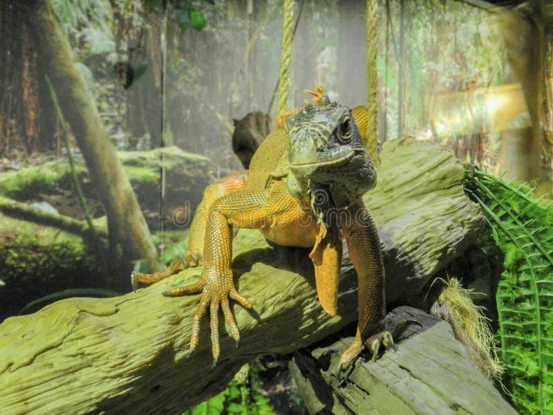 A iguana imagem de stock royalty free