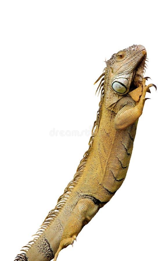 Download Iguana stock photo. Image of squamata, isolated, wildlife - 11766072