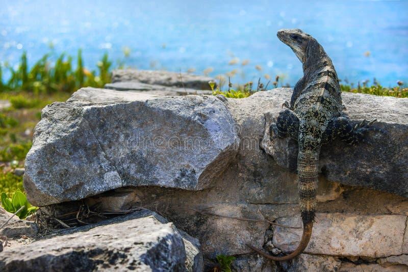 Download Iguana immagine stock. Immagine di nave, closeup, background - 117976397
