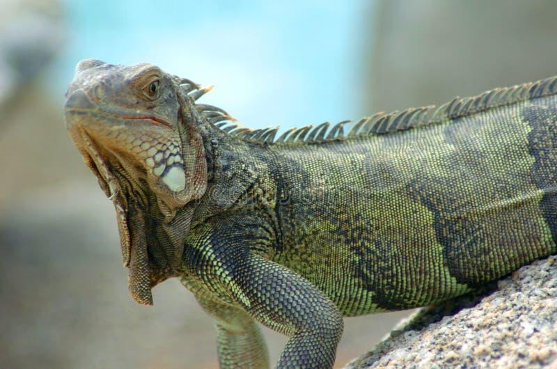 Iguana 12 fotografia stock libera da diritti