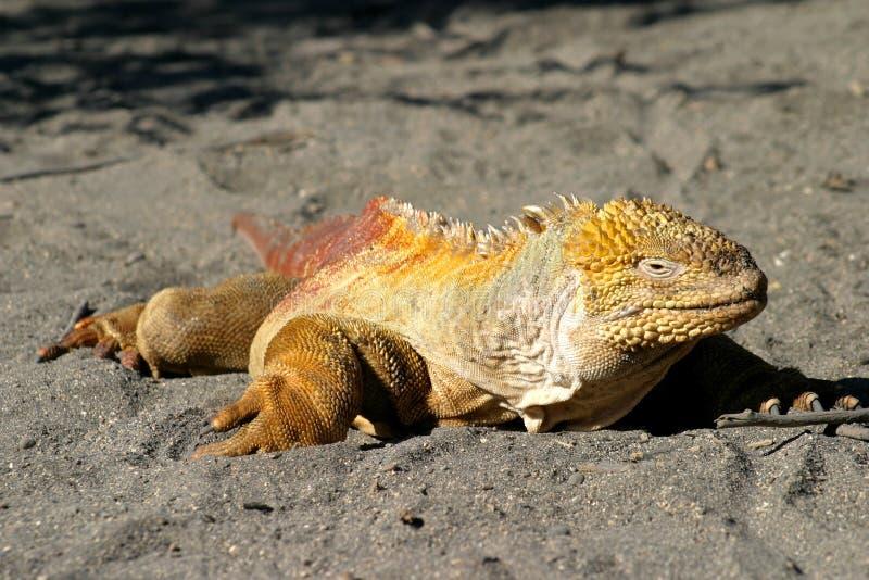 iguana obraz royalty free