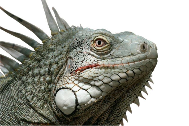 Download Iguana stock image. Image of terrifying, calm, domestic - 1288961