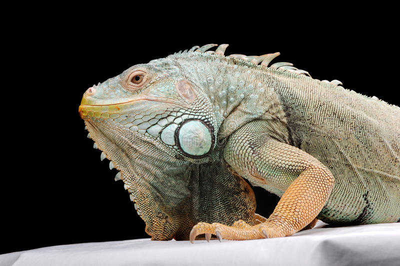 Download Iguana Royalty Free Stock Photos - Image: 13134908
