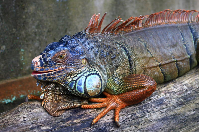 Download Iguana stock photo. Image of interested, engrossed, look - 13900680