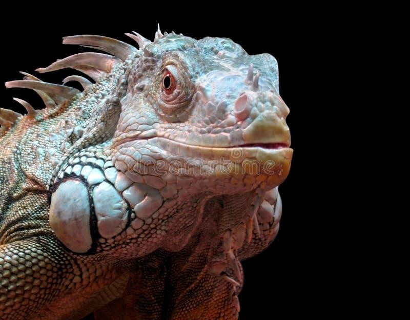 Download Iguana stock image. Image of large, detail, beauty, background - 13913333