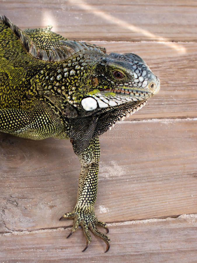 Download Iguana stock photo. Image of spine, white, saurian, wood - 17874322