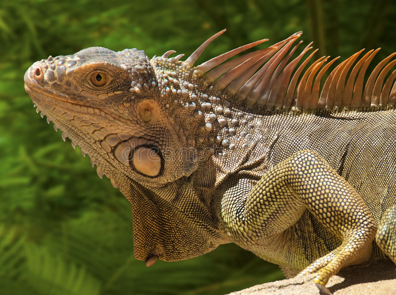 Download Iguana stock image. Image of macro, skin, vertebrate - 18350679
