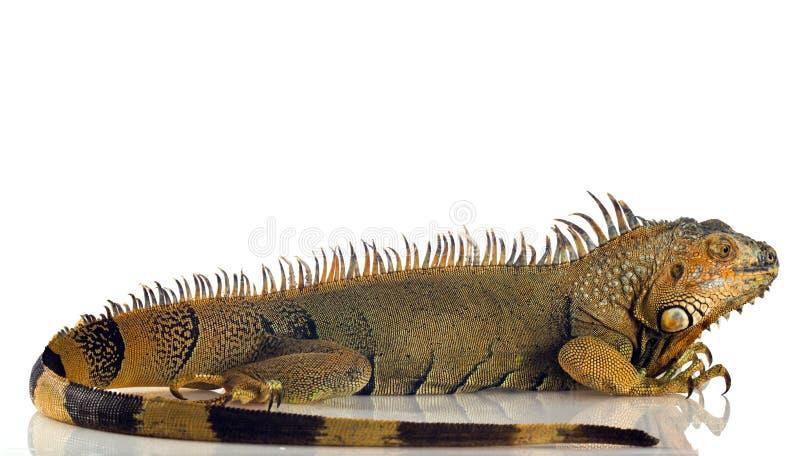 Download Iguana stock photo. Image of green, iguana, single, scale - 18984334