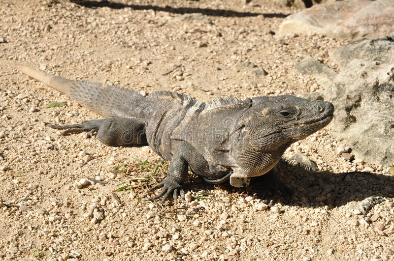 Download Iguana stock image. Image of reptile, lizard, common - 19151785