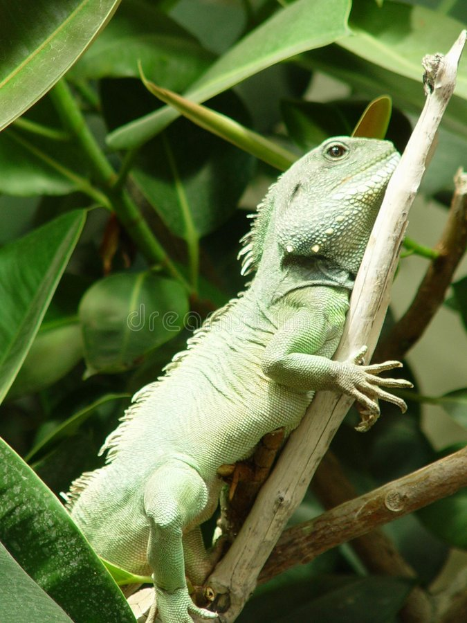 Download Iguana stock image. Image of fingers, lizard, branch, scales - 19871