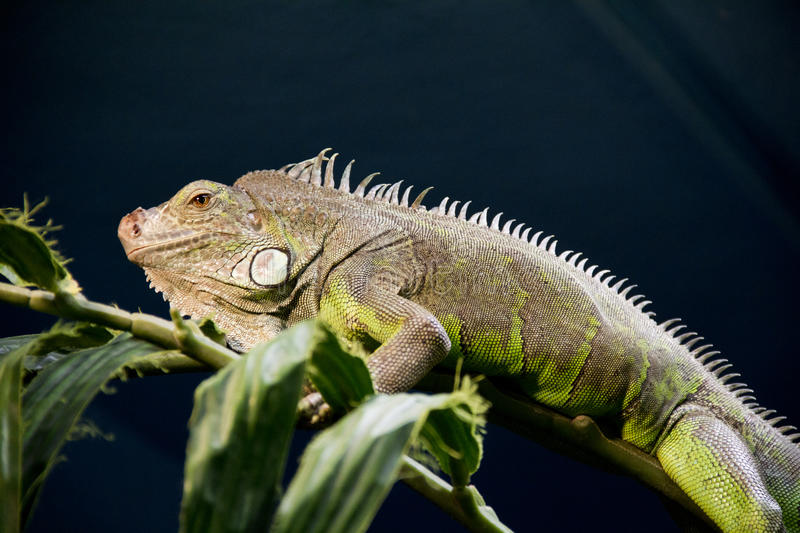 Download Iguana stock image. Image of historic, amazone, terrarium - 20435575