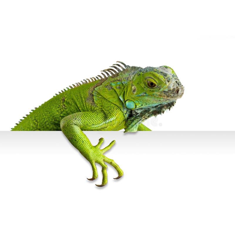 Free Iguana Stock Photos - 21755933