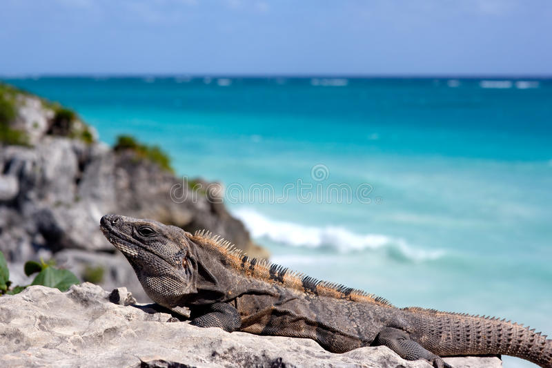Download Iguana stock photo. Image of branch, lizard, reptilian - 23046028