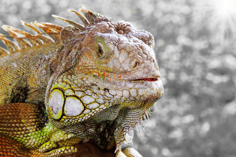 Iguana. Close up at day with grey background royalty free stock photo