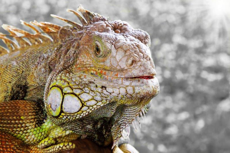 iguana στοκ φωτογραφία με δικαίωμα ελεύθερης χρήσης