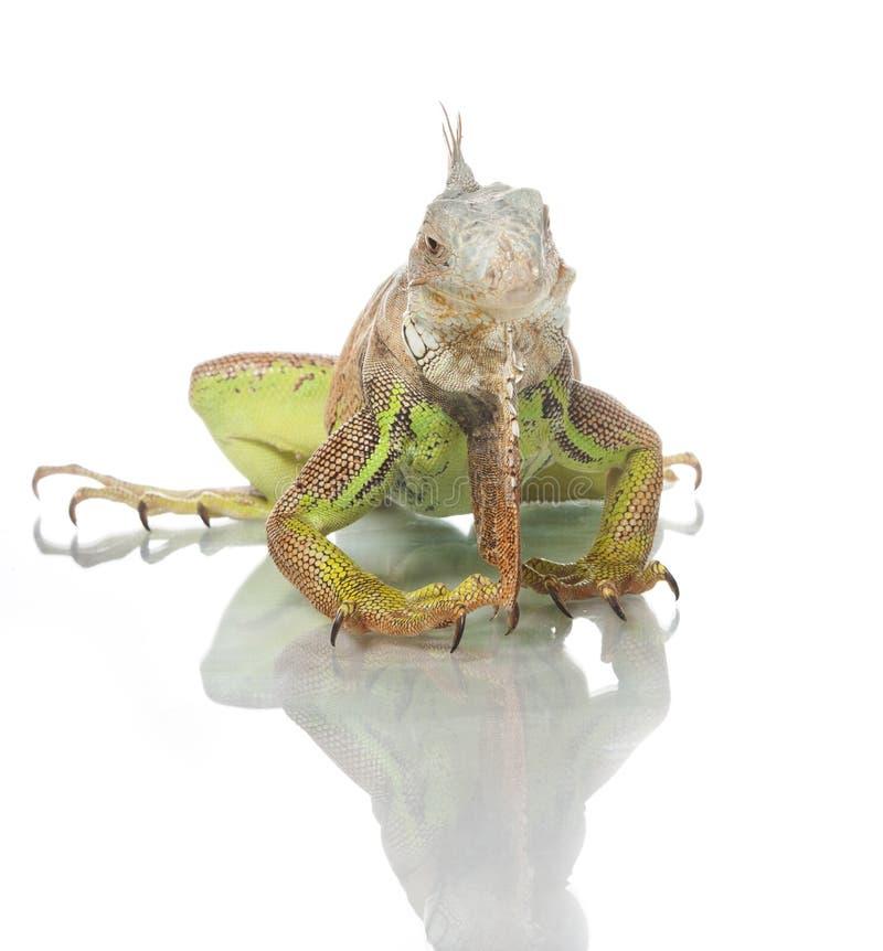 Download Iguana Stock Photo - Image: 25647470