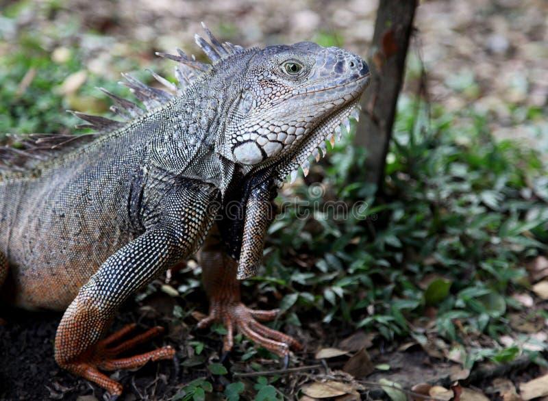 Download Iguana imagem de stock. Imagem de floresta, se, grama - 26511427