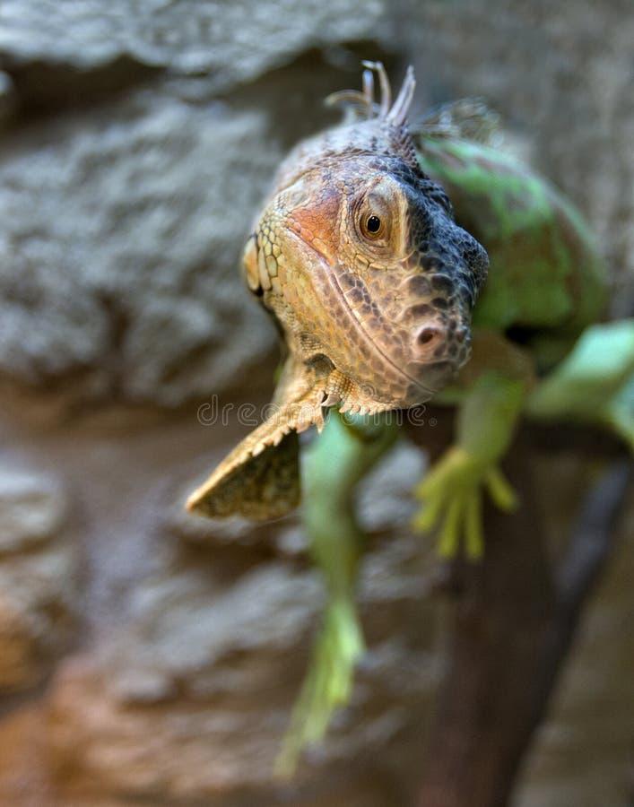 Iguana. A iguana sits on a branch stock photo