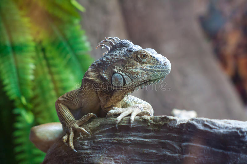 Download Iguana stock image. Image of pets, vertebrate, tranquil - 28729349
