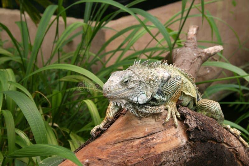 Download Iguana immagine stock. Immagine di selvaggio, nana, pinse - 3146877