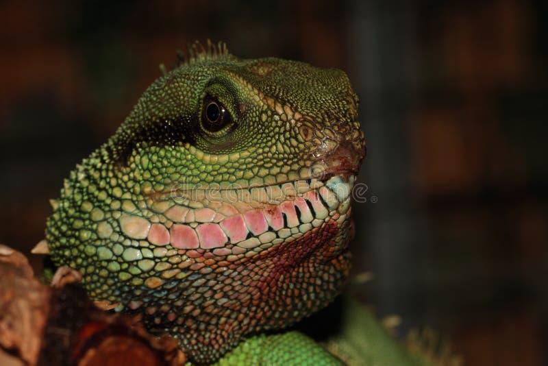 Iguana. obrazy stock