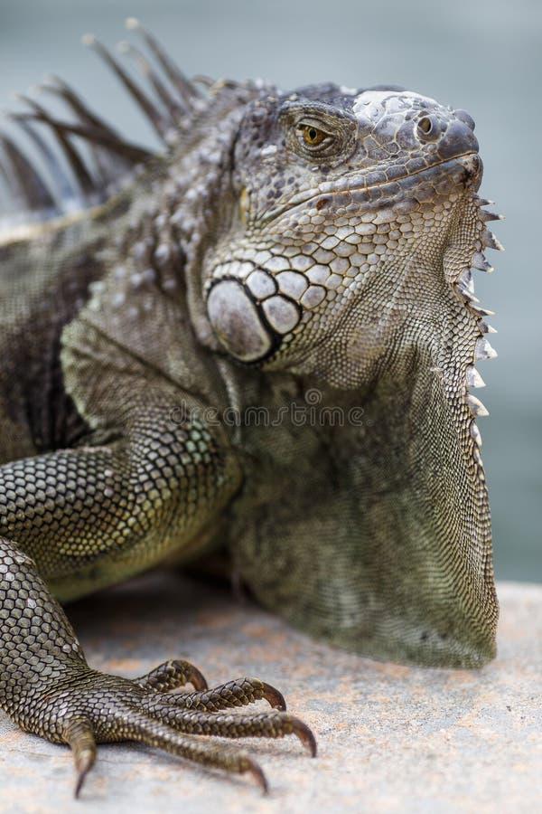 Iguana imagen de archivo