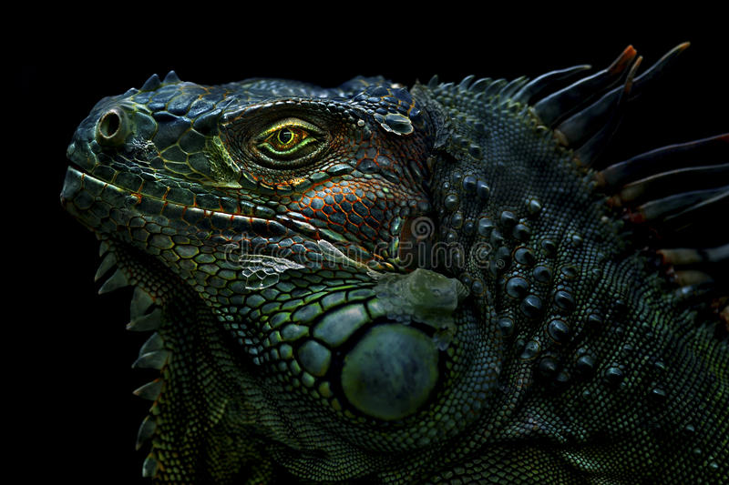Iguana. The green iguana is a large, arboreal, mostly herbivorous species of lizard of the genus Iguana native to Central, South America, and the Caribbean stock photo