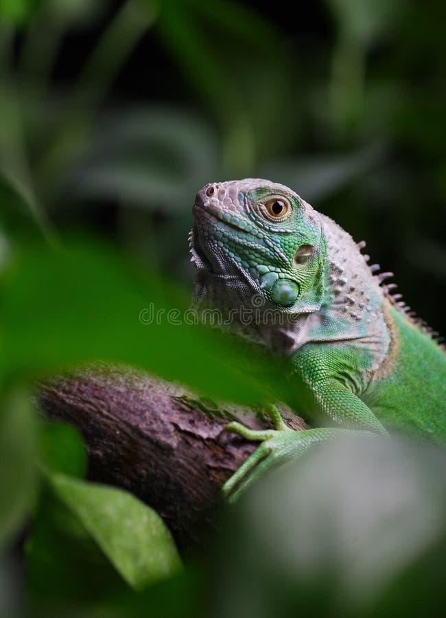 iguana στοκ φωτογραφία