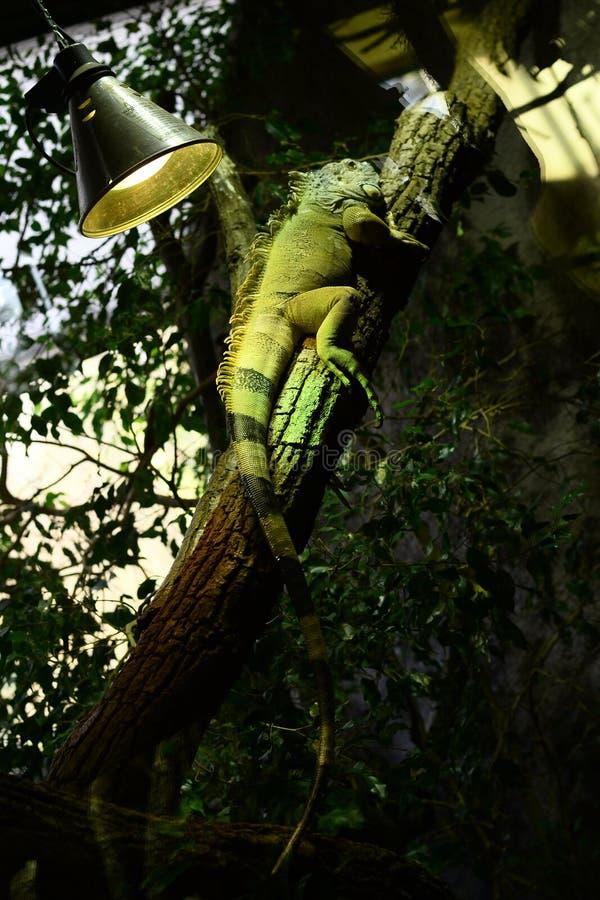 Iguana στοκ εικόνες με δικαίωμα ελεύθερης χρήσης
