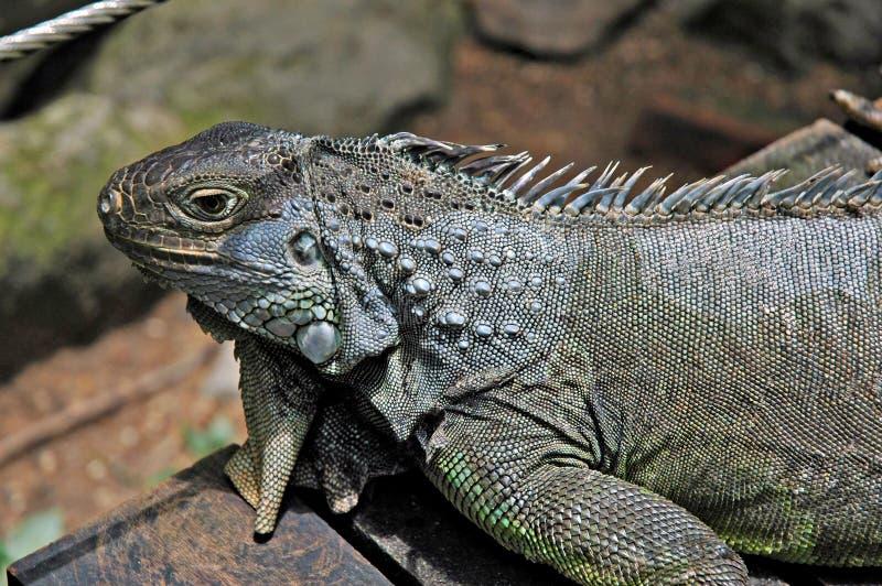 Download Iguana stock photo. Image of sunny, lizard, bathing, iguana - 507068