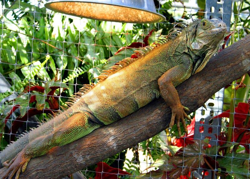 iguana zdjęcie royalty free