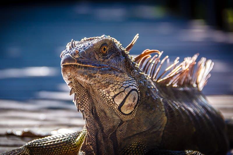 Iguana στοκ εικόνα με δικαίωμα ελεύθερης χρήσης