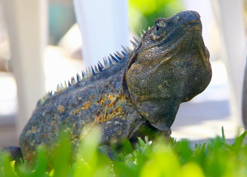 Iguana zdjęcia stock