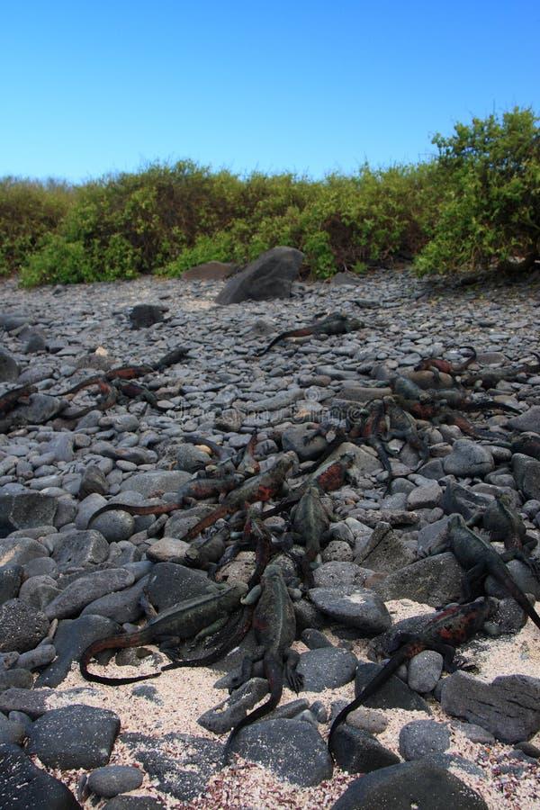 iguana obrazy stock