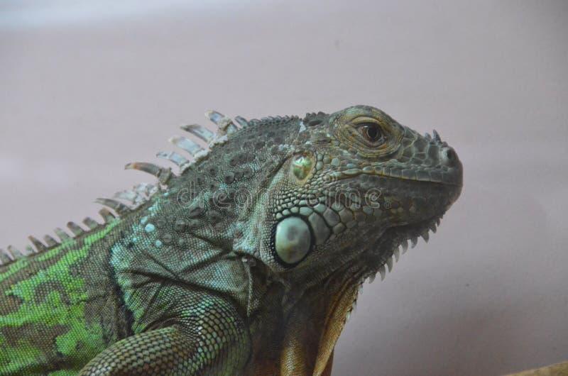 Iguana foto de stock