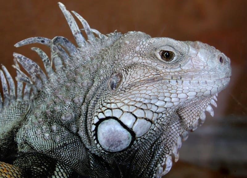 Iguana Immagine Stock Libera da Diritti