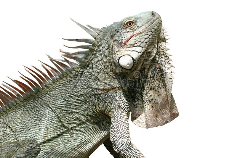 Iguana (aislada) foto de archivo libre de regalías
