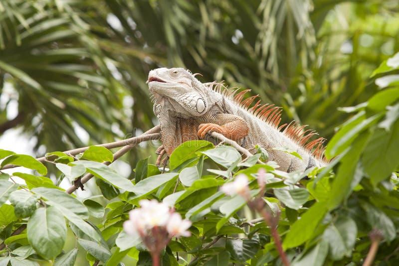 Iguana alaranjada foto de stock