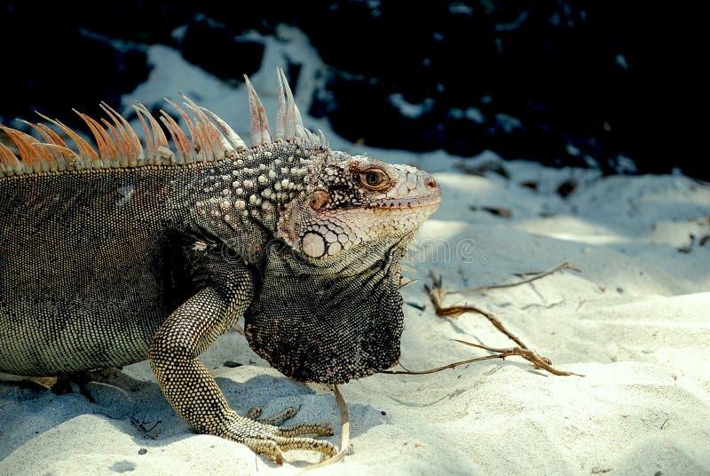 Iguana alla spiaggia fotografie stock libere da diritti