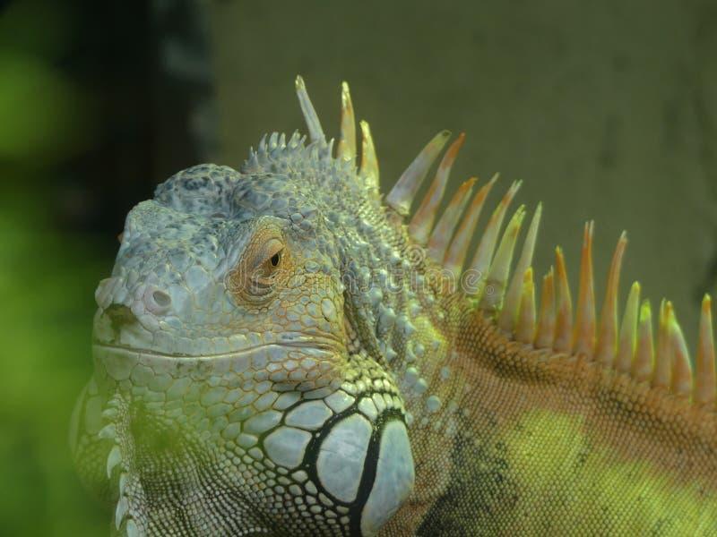 Iguana americana igualmente conhecida como a iguana verde imagem de stock royalty free