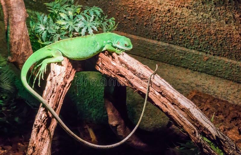 Iguana americana verde vívida contínua com uma cauda muito longa que coloca entre dois ramos, um animal de estimação tropical do  foto de stock