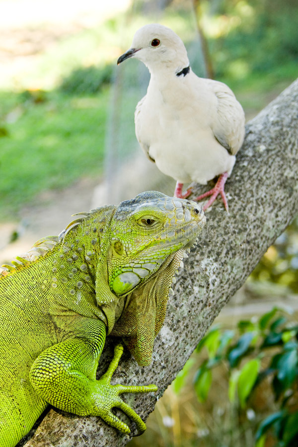 Free Iguana And Pigeon Stock Images - 5223494