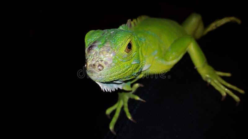 Iguana animal imagem de stock royalty free