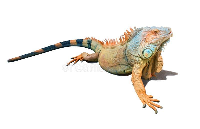 Iguana arancio, marrone e blu isolata su bianco fotografia stock libera da diritti