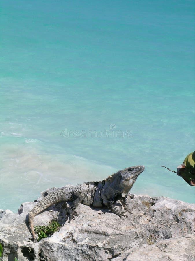 Iguana as Caraíbas fotografia de stock royalty free