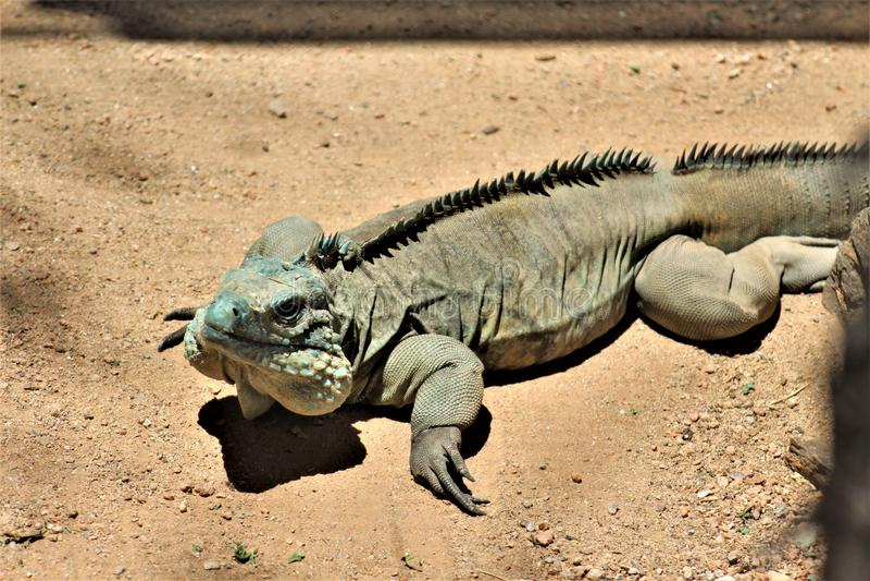 Iguana azul de Grand Cayman, jardim zoológico de Phoenix, centro para a conservação da natureza, Phoenix do Arizona, o Arizona, E foto de stock royalty free