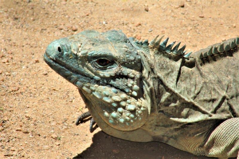 Iguana azul de Grand Cayman, jardim zoológico de Phoenix, centro para a conservação da natureza, Phoenix do Arizona, o Arizona, E imagens de stock
