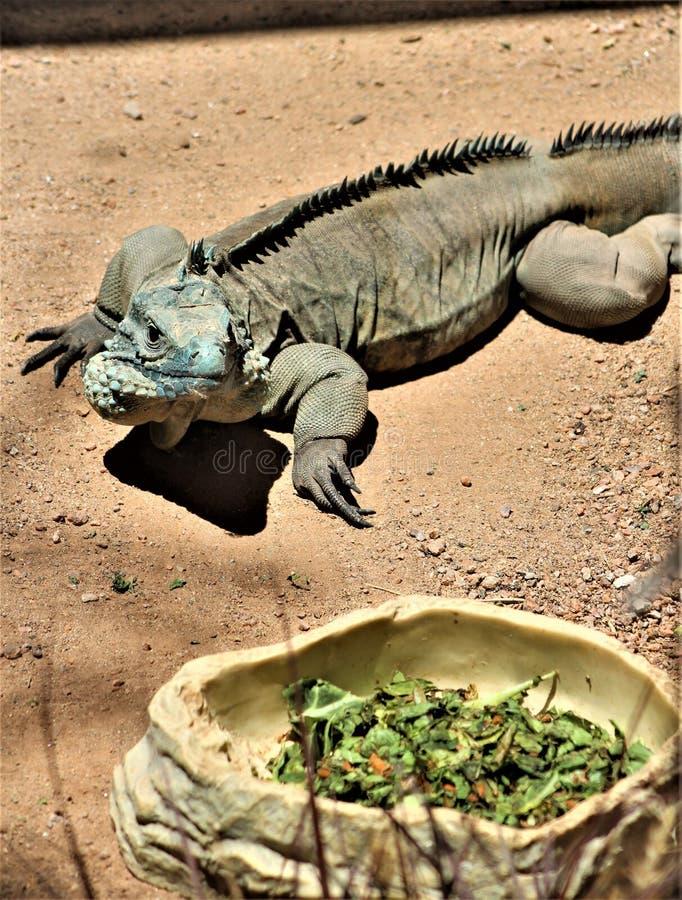 Iguana azul de Grand Cayman, jardim zoológico de Phoenix, centro para a conservação da natureza, Phoenix do Arizona, o Arizona, E fotos de stock royalty free