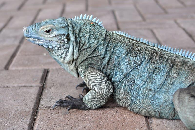 iguana błękitny profil zdjęcia stock