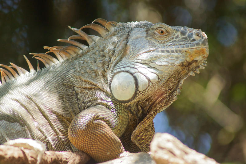 An iguana basking in the sunlight. A large iguana basks in the hot sun of Tenerife, Spain royalty free stock photography